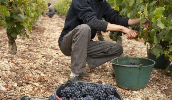 Vendange manuelle  pour le Bourgogne Côtes d'Auxerre Pinot noir